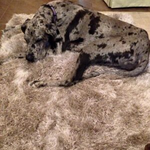 Polyester shag rugs come in handy for our sleepy four legged friends!